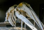 photo of a whale skeleton